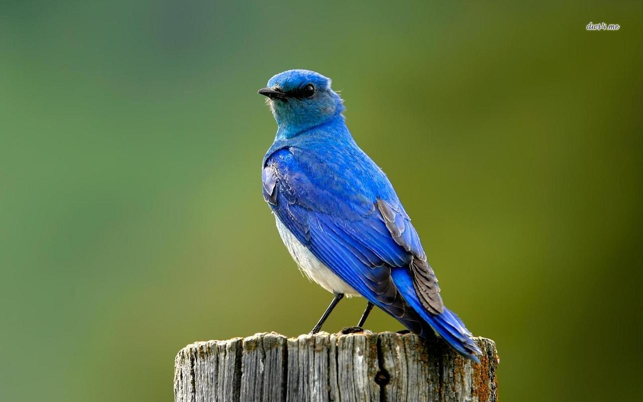 Bluebird Backgrounds