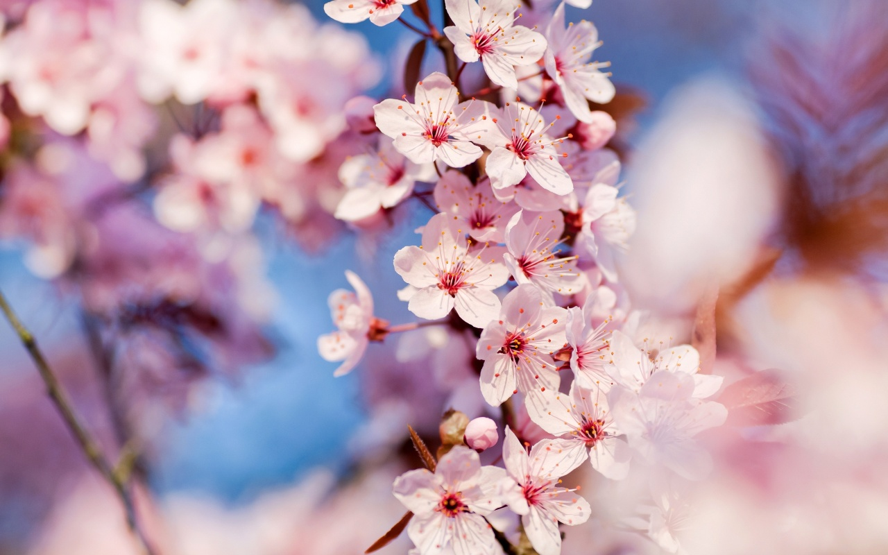 Cherry Flowers Backgrounds