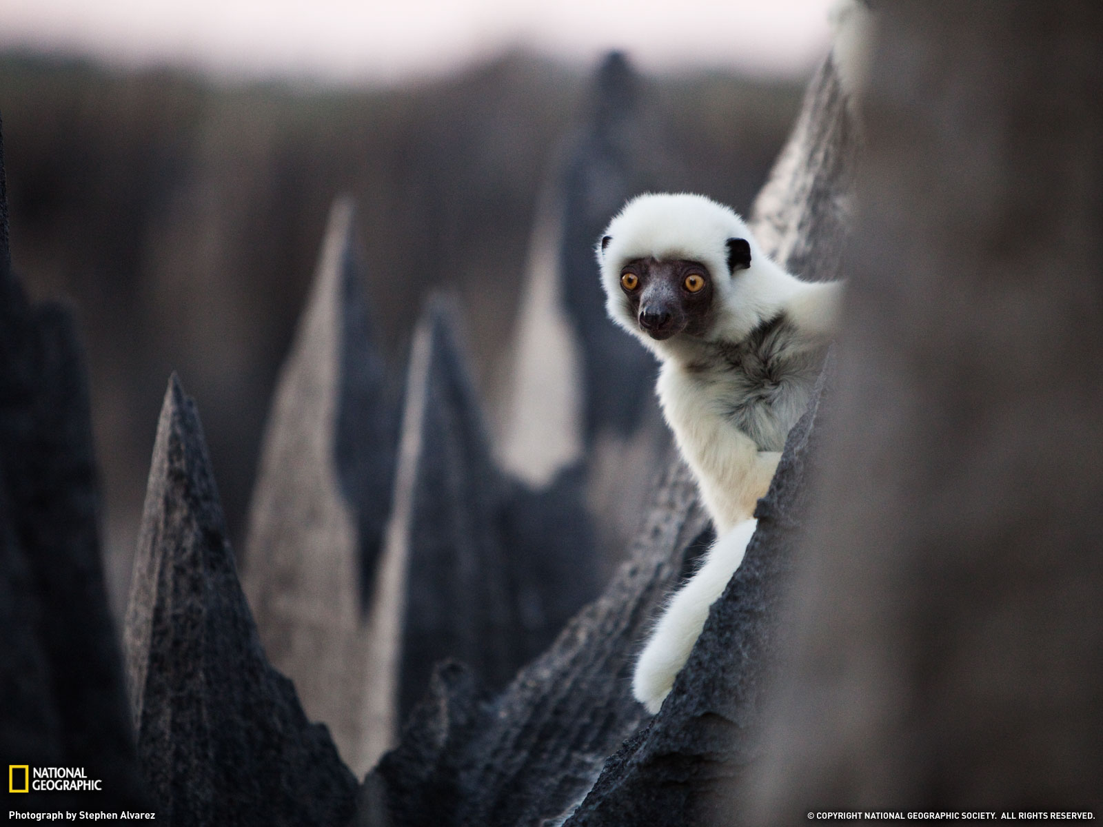 Deckens Sifaka, Madagascar Backgrounds