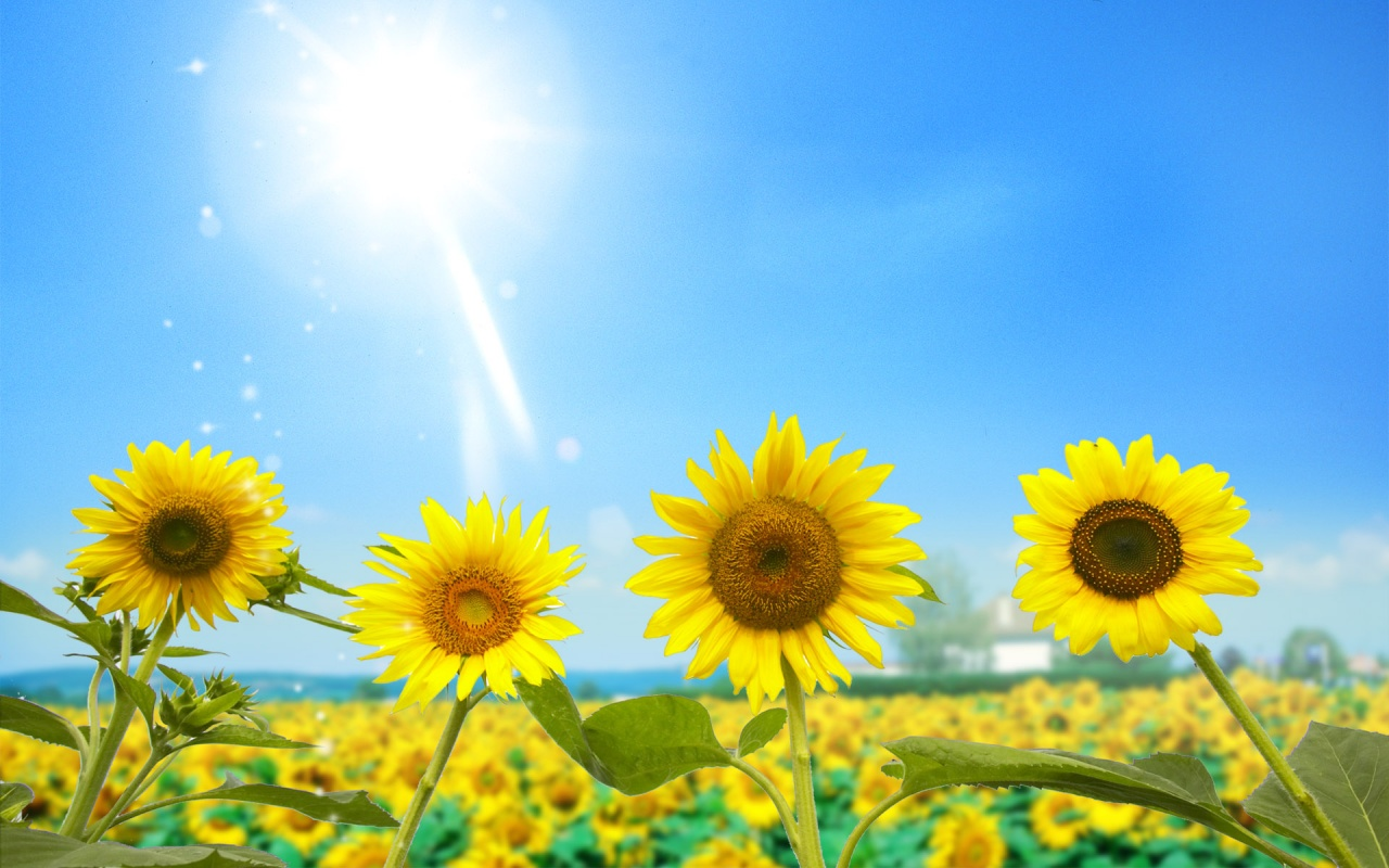 Field Of Bloomed Sunflowers Backgrounds
