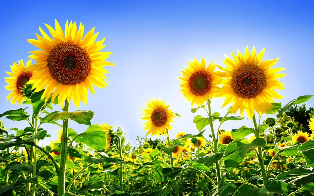 Gorgeous Sunflowers Backgrounds