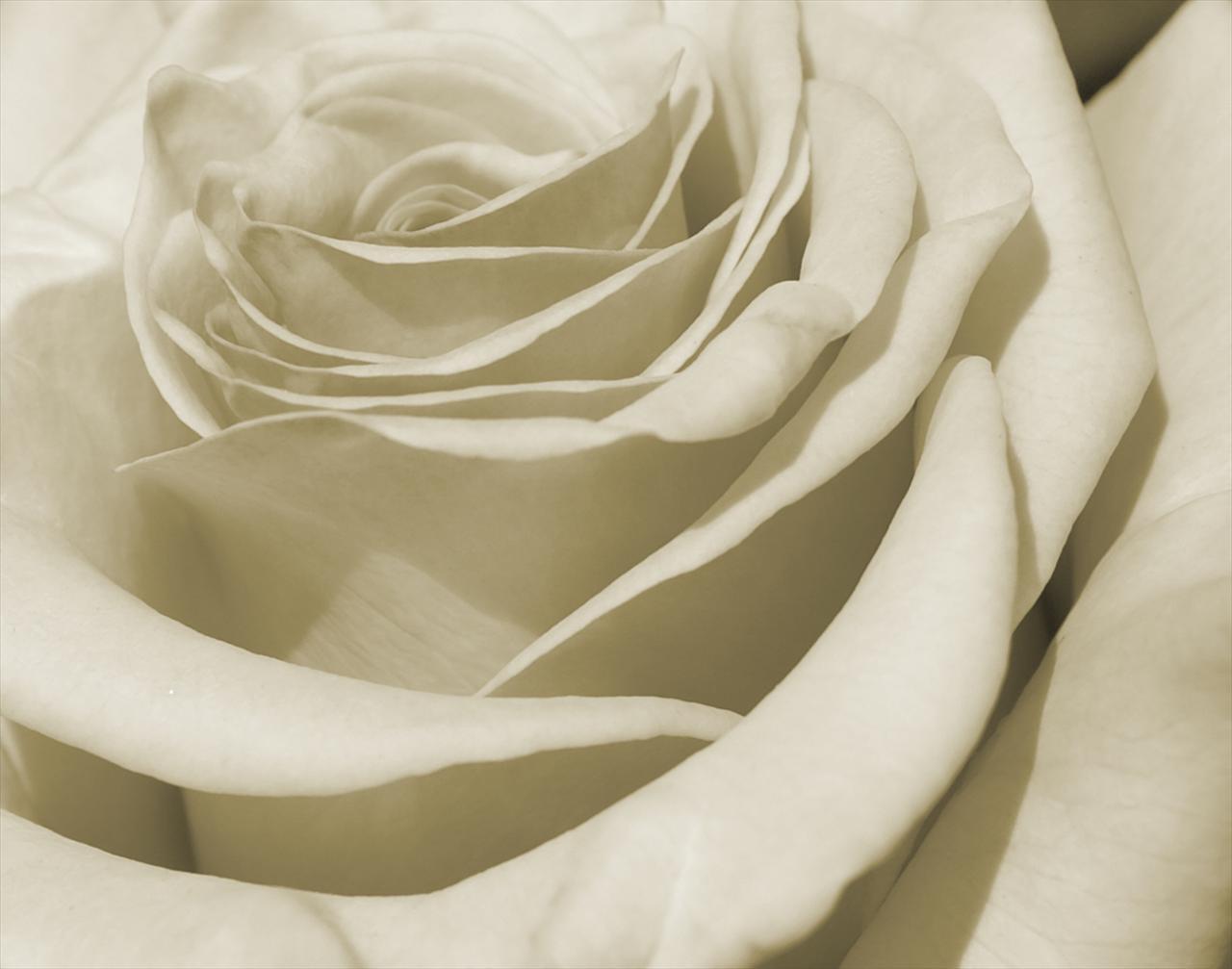 gray rose petals Backgrounds