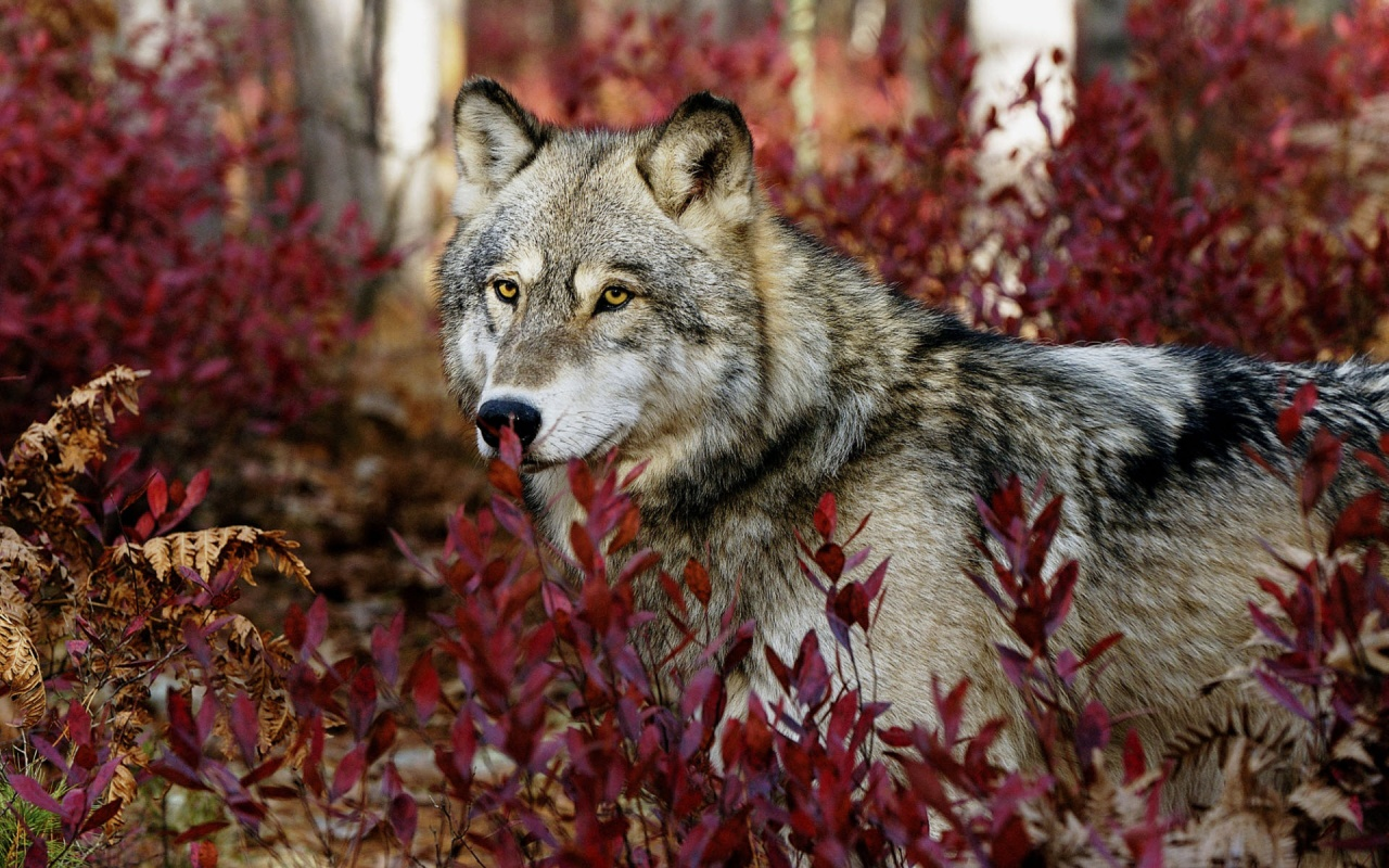 Gray Wild Wolf Backgrounds