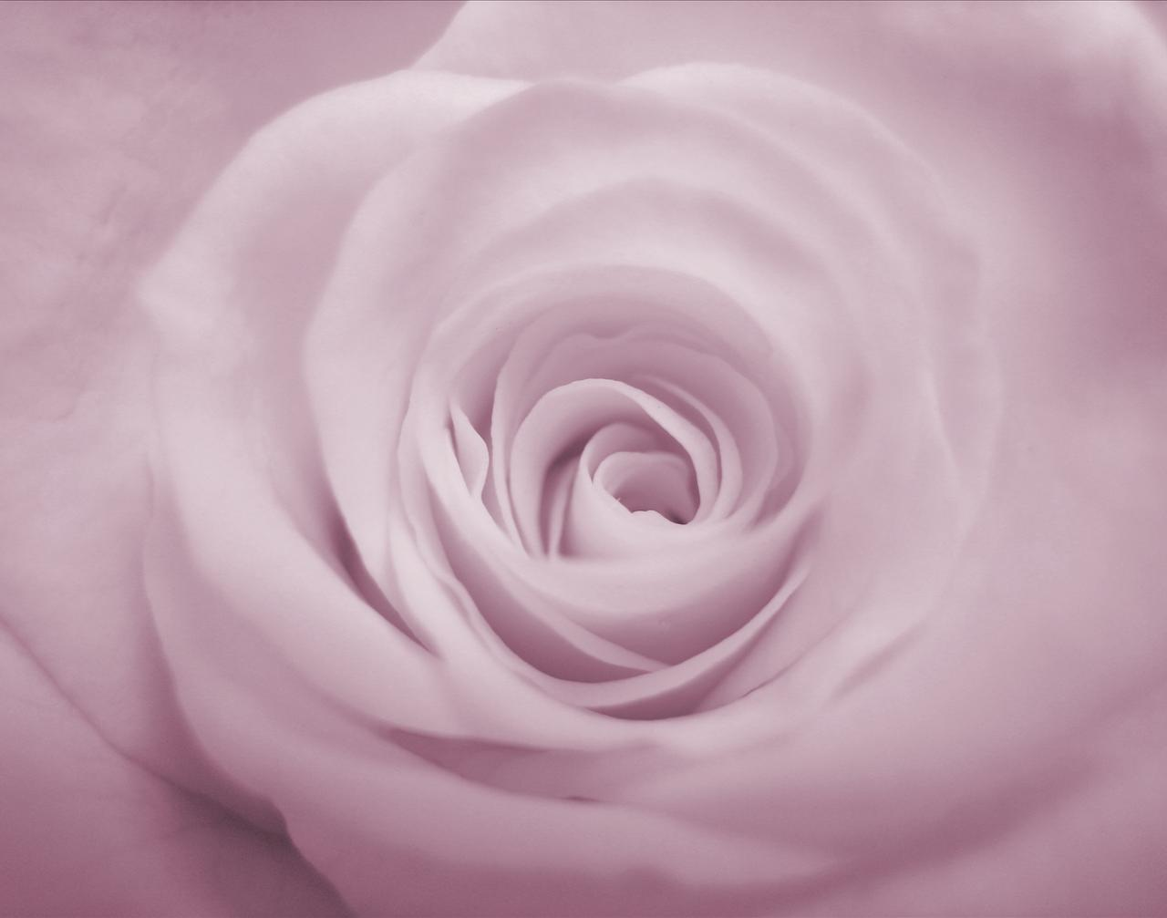Purple Rose Backgrounds