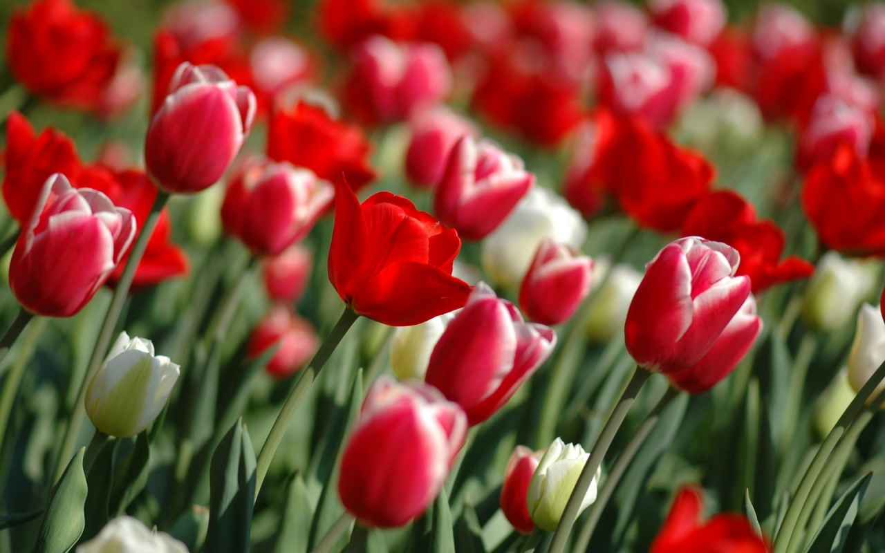 Red Tulips In Spring Backgrounds