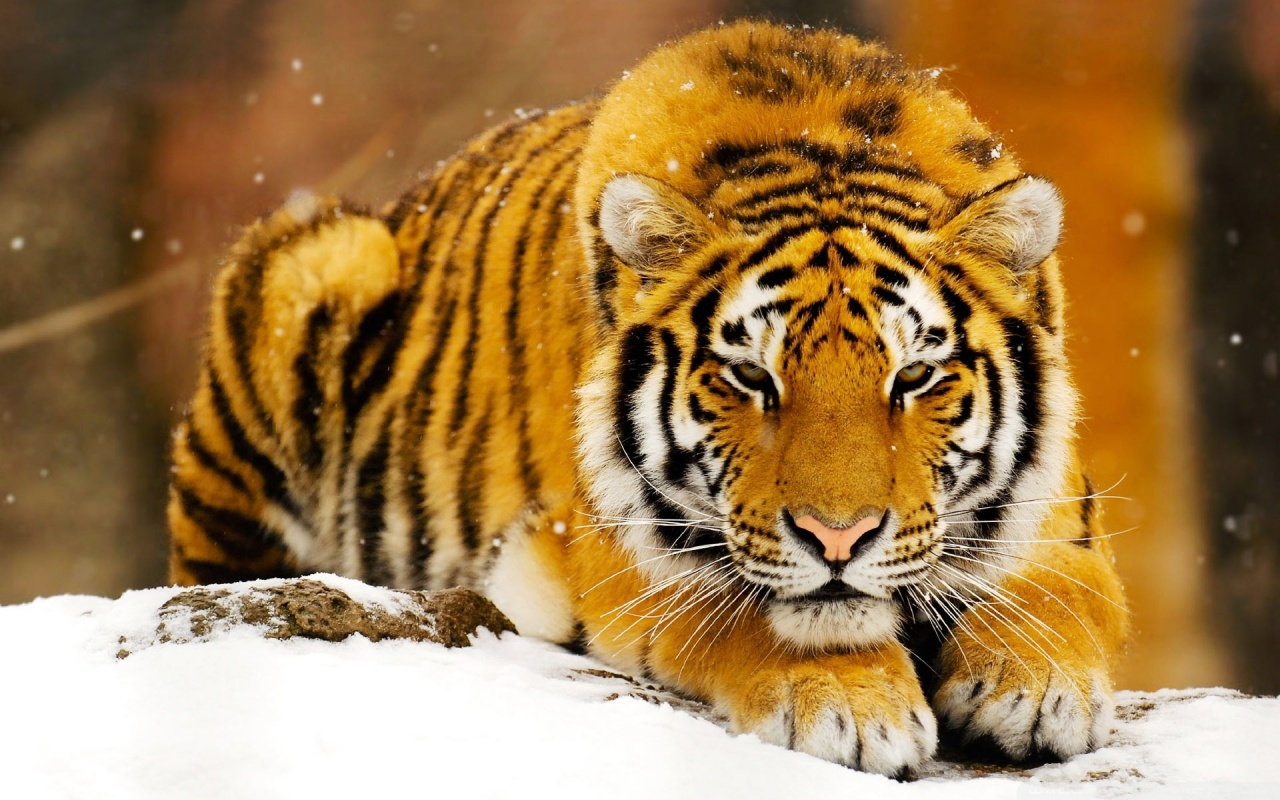 Siberian Snow Tiger At Rest Backgrounds