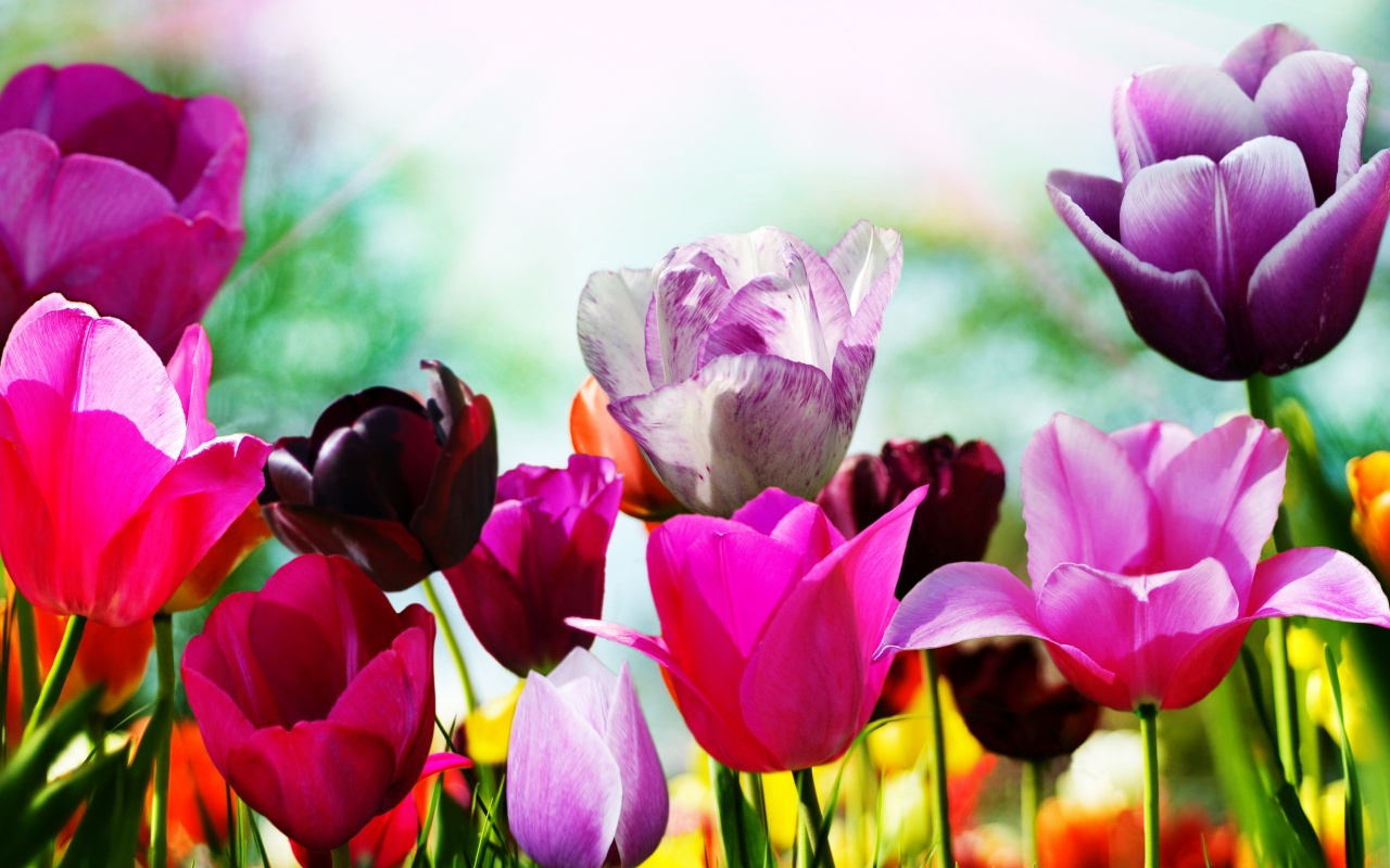 Tulips In Spring Backgrounds