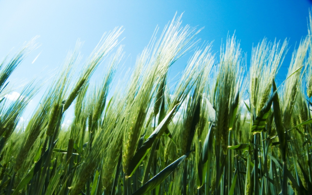 Wheat Fields Backgrounds
