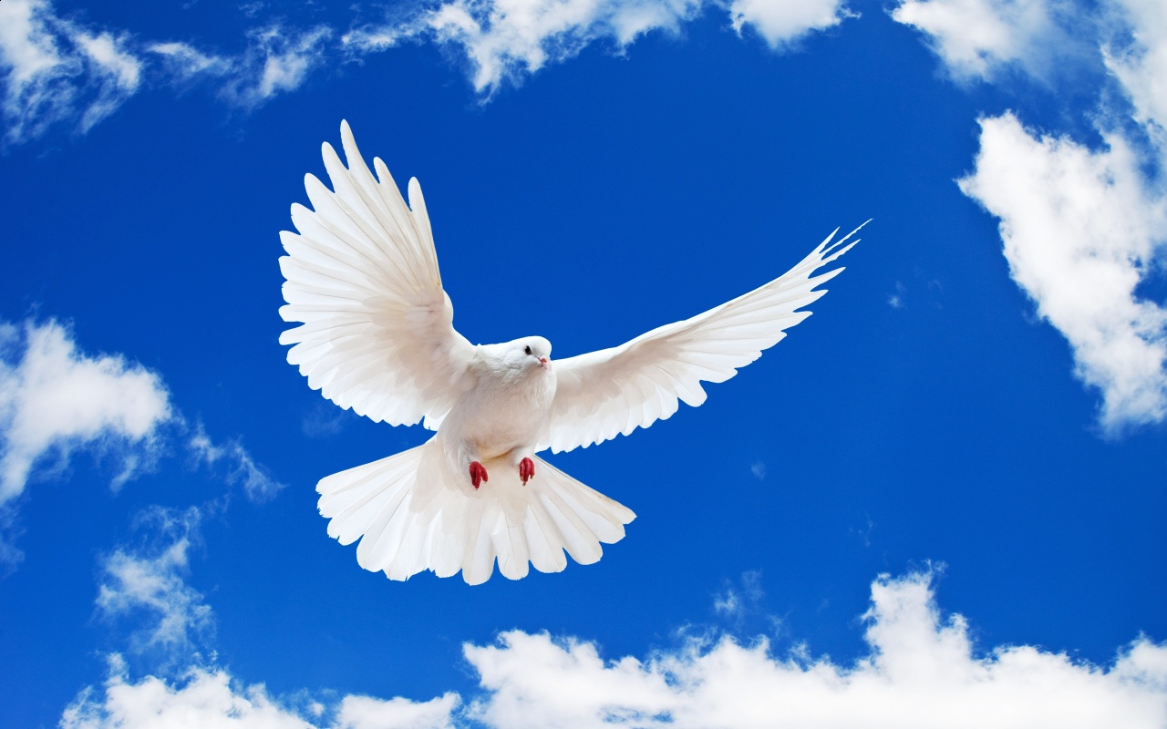 White Flying Dove Bird Backgrounds