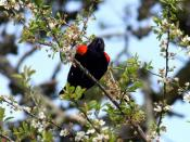 A Red Winged Blackbird Backgrounds