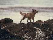 Arctic Fox on Rocks Alopex Lagopus Backgrounds