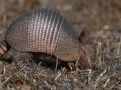 Armadillo Animal Backgrounds