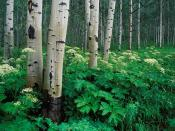 Aspens and Cow Parsnip White River National Forest Colorado Backgrounds