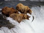 Bears On Hunt Alaska Backgrounds