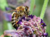 Bee on Lavender Backgrounds
