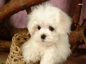 Bichon Frise Puppy Backgrounds