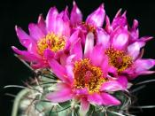 Big Cacti Flowers Backgrounds
