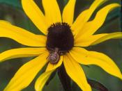 Black Eyed Susan Macro Backgrounds
