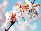 Blooming Cherry Backgrounds