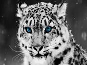 Blue Eye Leopard Backgrounds