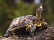 Brown Wood Turtle Backgrounds