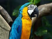 Bue Wing Parrot Backgrounds