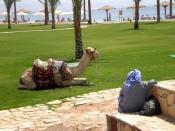 Camel in Egipt Backgrounds