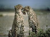 Cheetah Animal Acinonyx Jubatus Backgrounds