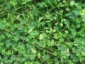 Clover Patch Backgrounds