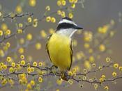 Cute Kiskadee Bird Texas Backgrounds