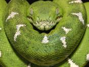 Emerald Tree Boa Amazon Equador Backgrounds