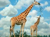 Giraffe Eating Backgrounds