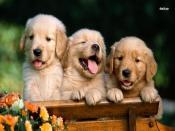 Golden Retriever Puppies Backgrounds