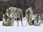 Gray Wolves Winter Norway Backgrounds