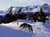 Grey Wolf Backgrounds