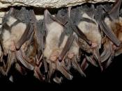 Hibernating Virginia Big Eared Bats in Cave Backgrounds