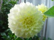 Huge Pale Yellow Dahlia Courtesy of Roger Gibbons Backgrounds