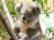 Koala Backgrounds