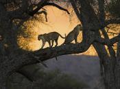 Leopards Panthera Backgrounds