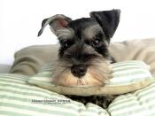 Miniature Schnauzer Dog Backgrounds