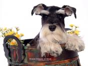 Miniature Schnauzer Puppy Backgrounds