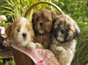 My Cute Puppies Backgrounds