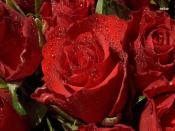 Nice Red Roses  Backgrounds