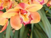 Orange Orchid Backgrounds
