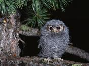 Owl Nature Photo Backgrounds