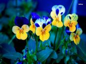 Pansies Backgrounds