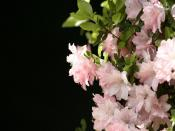 Pink Blossoms Backgrounds