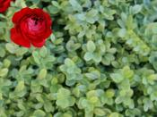 Red Ranunculus Backgrounds