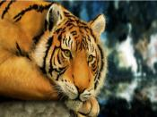 Sad Tiger Backgrounds