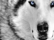 Siberian Husky Backgrounds